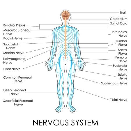 medula espinal: ilustración vectorial de diagrama del sistema nervioso