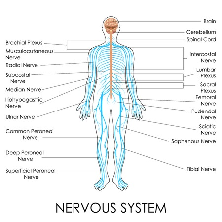 sacral nerves: vector illustration of diagram of nervous system Illustration
