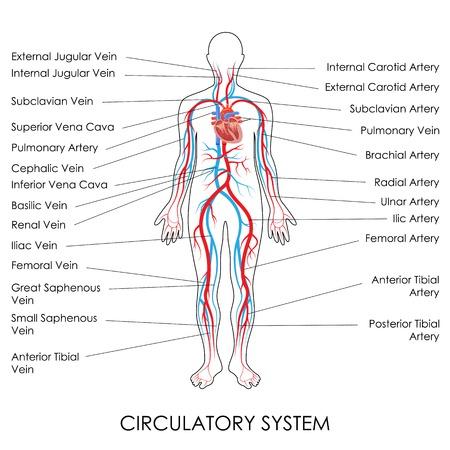ilustración vectorial de diagrama del sistema circulatorio