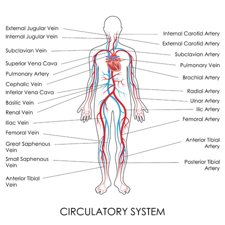femoral: vector illustration of diagram of Circulatory System