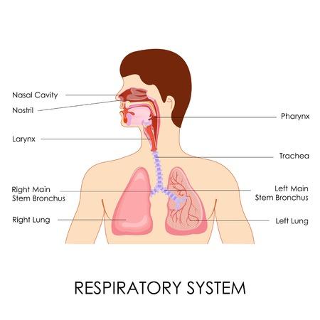 aparato respiratorio: ilustración vectorial de diagrama del sistema respiratorio Vectores