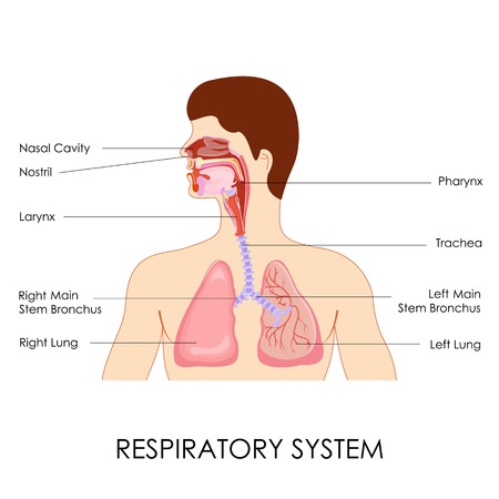 respiratory: vector illustration of diagram of respiratory system