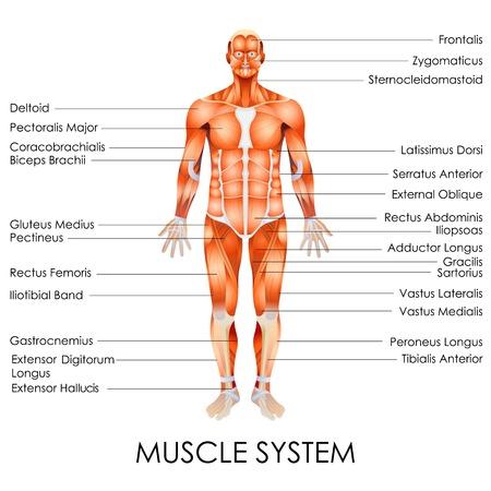 latissimus: illustrazione vettoriale di diagramma di sistema muscolare