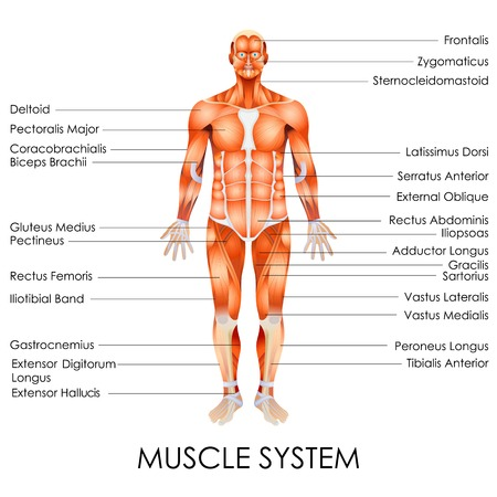 anatomy body: vector illustration of diagram of Muscular System Illustration