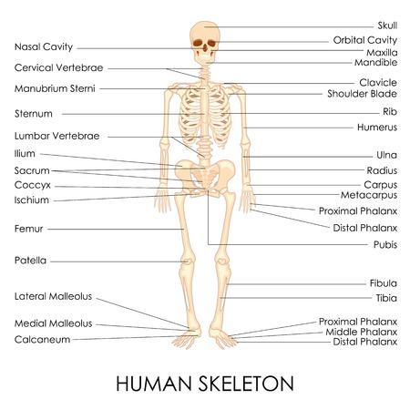 fisiologia: ilustraci�n vectorial de diagrama de esqueleto humano