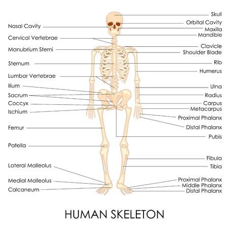 physiology: vector illustration of diagram of human skelton