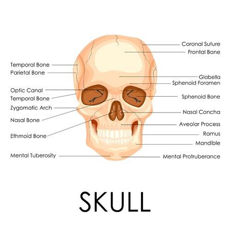 suture: vector illustration of diagram of human skull