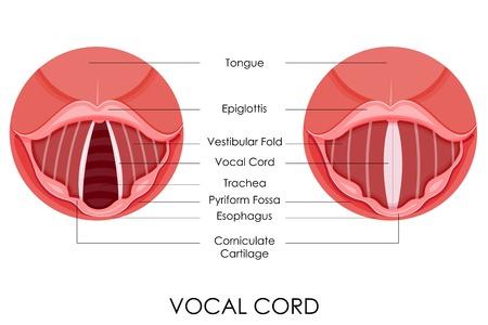 vector illustratie van diagram van de stembanden