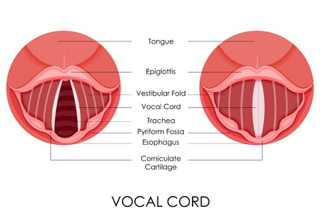 vestibular: vector illustration of diagram of vocal cord