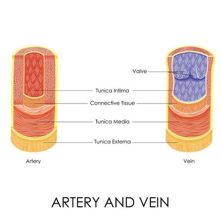 blood flow: illustrazione vettoriale di diagramma di arteria e vena