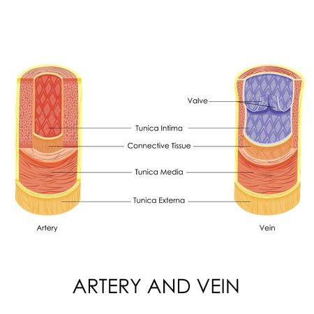 anatomia: ilustración vectorial de diagrama de la arteria y la vena