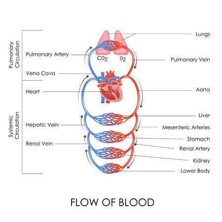 circolazione: illustrazione vettoriale di flusso di sangue nel sistema circolatorio