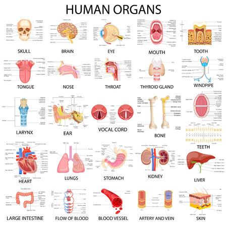 anatomie humaine: illustration vectorielle de tableau complet des différents organes humains Illustration
