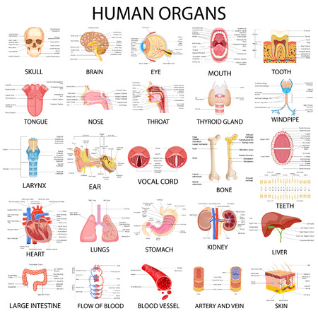 huesos humanos: ilustración vectorial de la carta completa de los diferentes órganos humanos