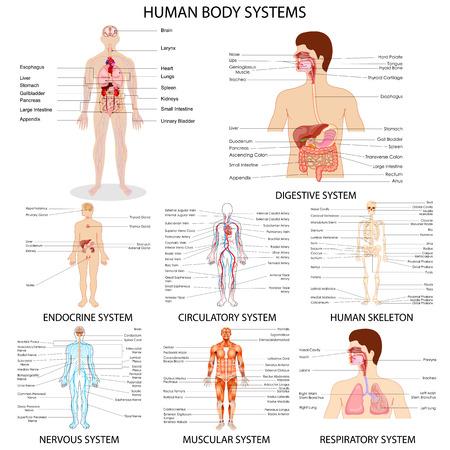 nervios: ilustración vectorial de la carta completa de los diferentes sistemas de órganos humanos Vectores