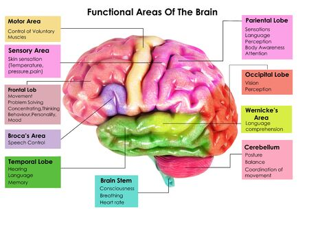 3d image render of Human Brain Anatomy for biology science education