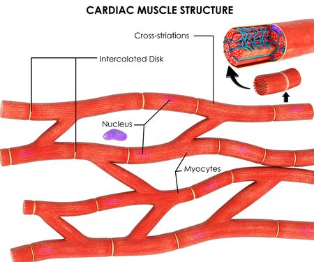 3d image render of Anatomy of Cardiac Muscle of human for biology science education 스톡 콘텐츠