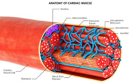 3d image render of Anatomy of Cardiac Muscle of human for biology science education