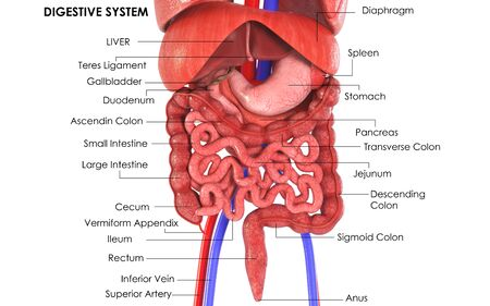 3d image render of diagram of digestive system for biology science education Stockfoto