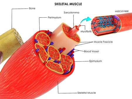 3d image render of Anatomy of Skeletal Muscle of human for biology science education Stockfoto