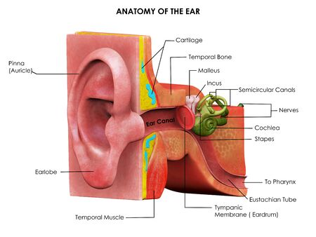 3d image render of human ear anatomy for biology science education 스톡 콘텐츠