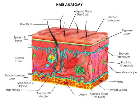 3d image render of drawing of hair anatomy for biology science education