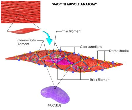 3d image render of Smooth Muscle Anatomy for biology science education