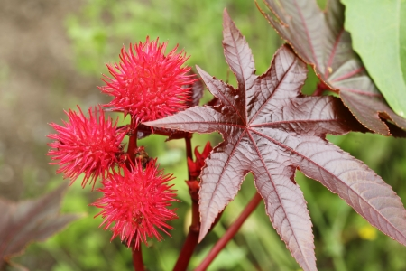 castor: Castor oil plant, Ricinus communis