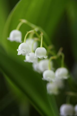Lily of the Valley (Convallaria majalis), very short depth-of-field Stock Photo - 3425308