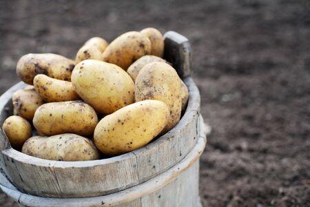 Harvested potatos in old wooden bucket. Short depth-of-field. Stock Photo - 3429245