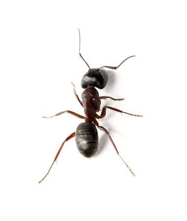 A Carpenter ant on white surface Фото со стока