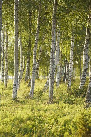 finland�s: Abedul n�rdico bosque en verano Foto de archivo