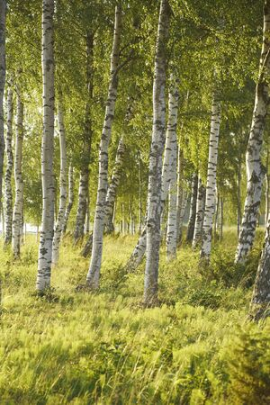 Nordic birch forest in summer Stock Photo