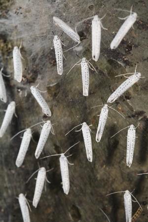 ermine: Ave-cereza armi�o polillas (Yponomeuta evonymellus) Foto de archivo