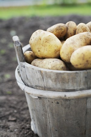 Harvested potatoes in an old wooden bucket Stock Photo - 4408025