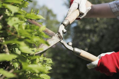 bush trimming: gloved hands trimming a bush with worn scissors