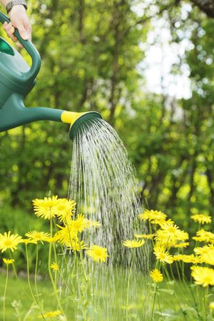 trickles: Watering yellow summer flowers with a green watering can. Stock Photo