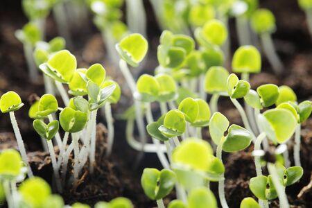dicot: Piantine di piante piccole basilico (Ocimum basilicum).