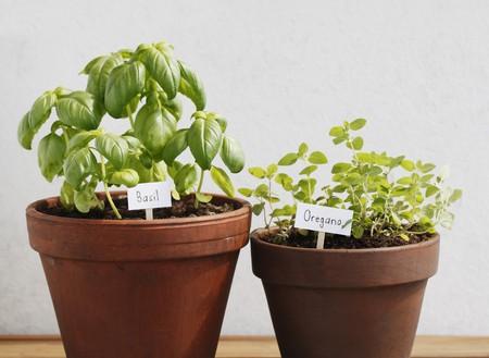 ollas de barro: Basilio y or�gano hierbas creciendo en vasijas de arcilla.