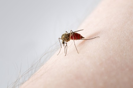 sucks: A Mosquito sucking blood on a hairy arm Stock Photo