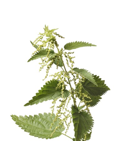 urtica: Stinging nettle or common nettle, Urtica dioica, is a herbaceous perennial flowering plant