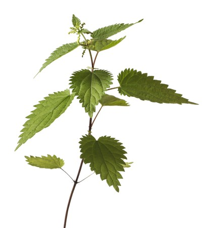Stinging nettle or common nettle, Urtica dioica, is a herbaceous perennial flowering plant Stock Photo - 7492008