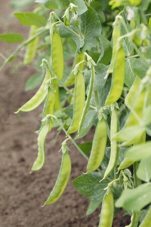 Sugar peas growing in a garden. photo
