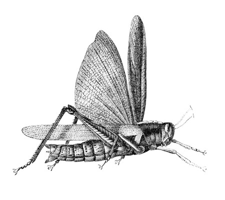 Grasshopper. Illustration originally published in Ernst von Hesse-Warteggs Nord Amerika, swedish edition published in 1880. The image is currently in Public domain by virtue of age. illustration