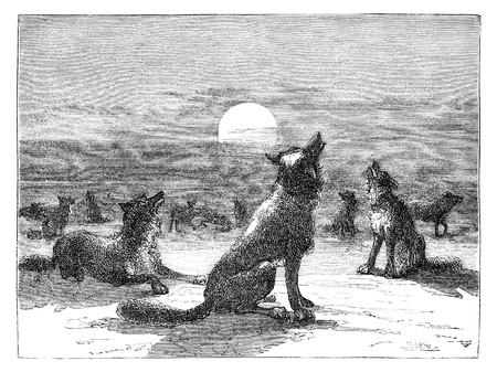 Coyotes on prairie. Illustration originally published in Hesse-Warteggs Nord Amerika, swedish edition published in 1880. The image is currently in public domain. illustration