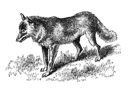 virtue: Mountain dwelling Coyote. Illustration originally published in Hesse-Warteggs Nord Amerika, swedish edition published in 1880. The image is currently in Public domain by virtue of age.
