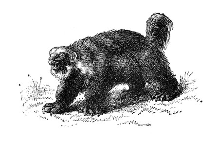 wolverine: Wolverine. Illustration originally published in Hesse-Warteggs Nord Amerika, swedish edition published in 1880. The image is currently in public domain.