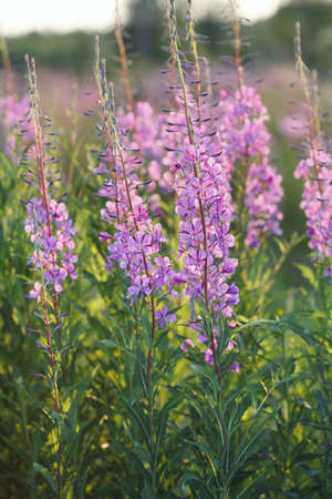 fireweed: Fireweed flowers in evening light