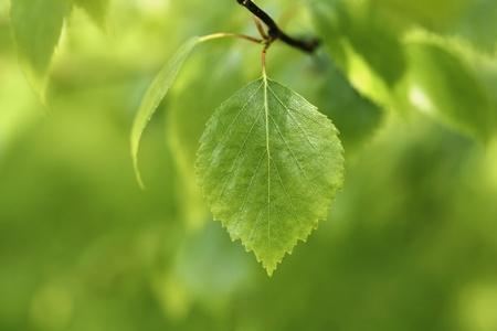 finland: Birch tree leaf in closeup.