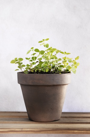 A potted oregano herb plant. Stock Photo - 9410777